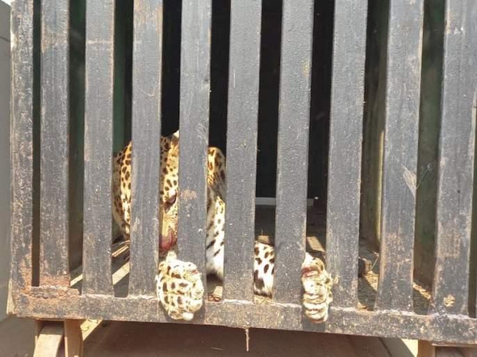 Breath of relief: Leopards confiscated in the slums of Vihitgaon | सुटकेचा निश्वास : विहितगावच्या मळे भागात बिबट्या जेरबंद