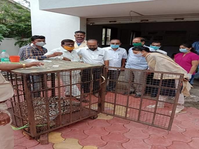 Two leopards fight at Khanapur; One seriously injured | खानापूर येथे दोन बिबट्यांची झुंज; एक गंभीर जखमी