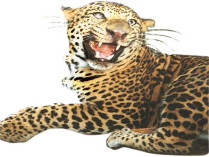 Leopard sightings in Devdaithan; Miley saved five minutes later | देवदैठणमध्ये बिबटयाचे दर्शन; पाच मिनिटाच्या अंतराने मायलेकी बचावल्या
