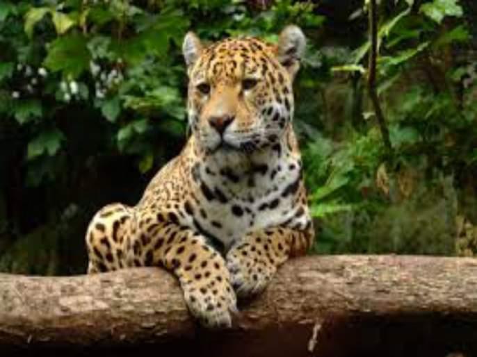 Leopards roam the New Dindoshi Mhada colony; Panic spread among citizens!   न्यू दिंडोशी म्हाडा वसाहतीत बिबट्याचा वावर; नागरिकांमध्ये पसरली घबराट!