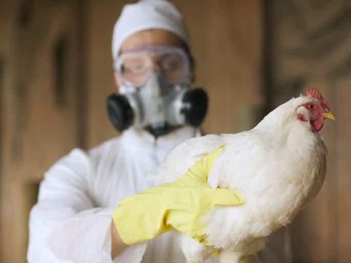 Bird flu: Take these precautions and avoid bird flu infection, these are the guidelines | bird flu : ही खबरदारी घ्या आणि बर्ड फ्लूच्या संसर्ग टाळा, अशा आहेत मार्गदर्शक सूचना 