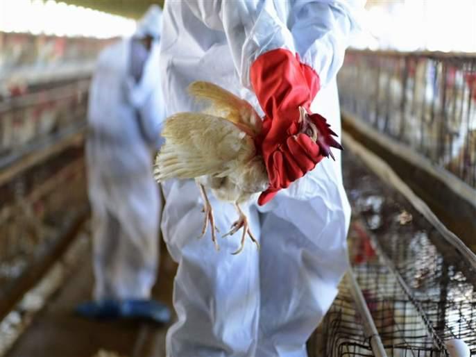 What is bird flu symptoms treatment and prevention | बर्ड फ्लू म्हणजे नक्की काय?; वेळीच व्हा सावध, जाणून घ्या लक्षणं आणि कारणं