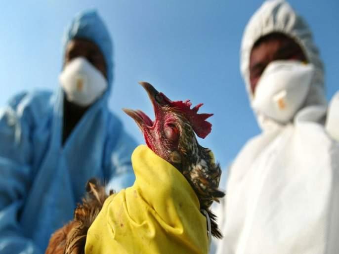 Bird Flu : Decision to slaughter hens in Nagpur and Gadchiroli | Bird Flu : नागपूर आणि गडचिरोलीतील कोंबड्यांची कत्तल करण्याचा निर्णय