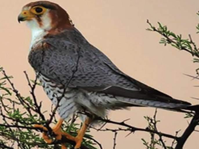 migratory birds arrived in solapur from foreign countries | सोलापुरात परदेशी पक्ष्यांची मांदियाळी!