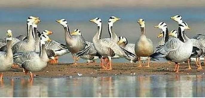 European swan birds arrive at Kapshi Lake | युरोपियन राजहंस पक्ष्यांचे कापशी तलावावर आगमन