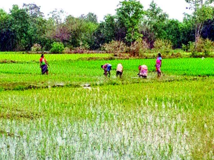 Summer rice cultivation in Vikramgarh is complete | विक्रमगडमध्ये उन्हाळी भात लागवड पूर्ण