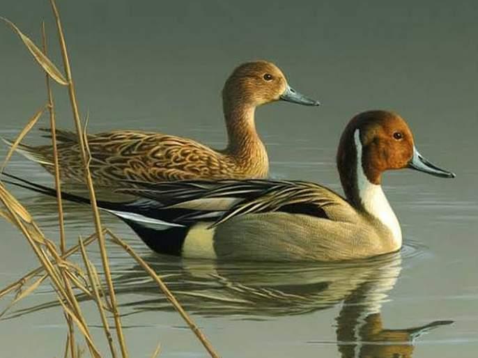 Mainee has no status for bird sanctuary!   मायणीला पक्षी अभयारण्याचा दर्जाच नाही!