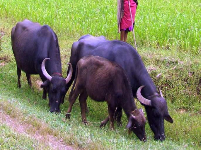 Buffalo smuggling left by mistake   भूल देऊन म्हशींच्या तस्करीचा डाव