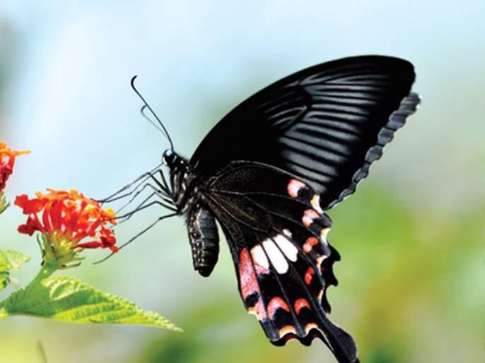 Online butterfly display | ऑनलाईन फुलपाखरू प्रदर्शन