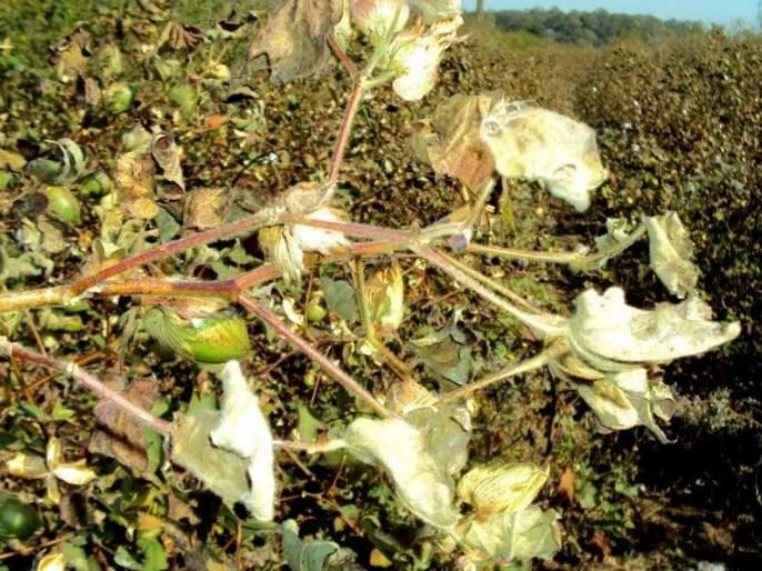 Rain dammage cotton crop in akola | परतीच्या पावसामुळे कपाशीची पाते, फुले गळाली; सोयाबीन भिजले !