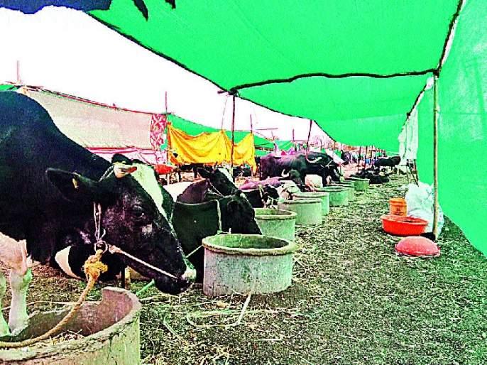 Only one veterinary officer in 3000 camps in the camp - fodder camps in Jat taluka | छावणीत ३००० जनावरांमागे एकच पशुवैद्यकीय अधिकारी--जत तालुक्यात चारा छावण्यांची स्थिती