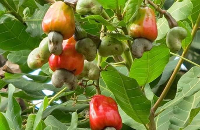 100% GST refund to cashew growers | काजू उत्पादकांना १००टक्के जीएसटी परतावा