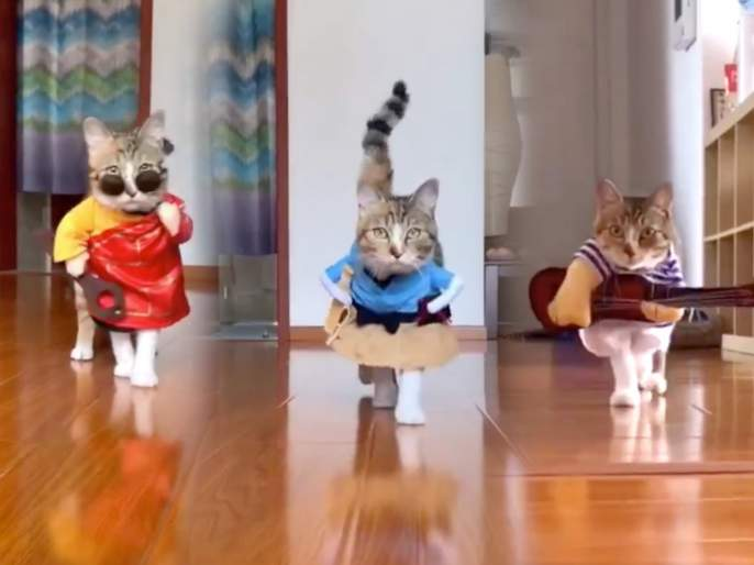 Cat walk video goes viral people said this is a real cat walk watch video   लयच भारी... या मांजरीची चाल पाहून नेटकरी म्हणाले, हाच खरा 'कॅट वॉक'