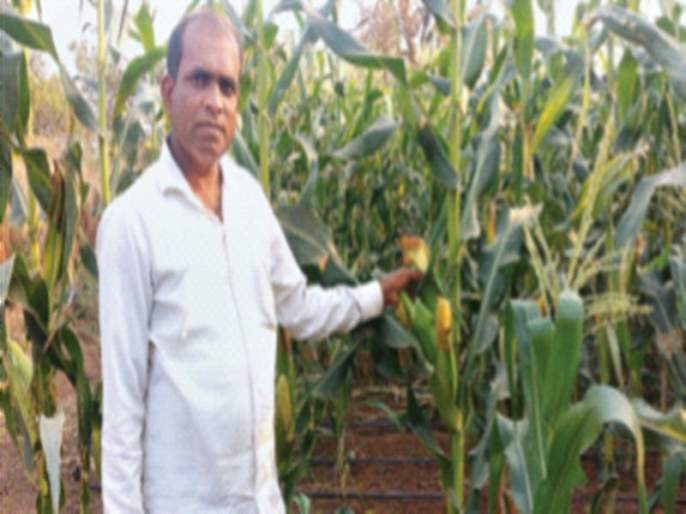 Successful experiment of maize cultivation in Shahapur taluka | शहापूर तालुक्यात मक्याच्या शेतीचा प्रयोग यशस्वी