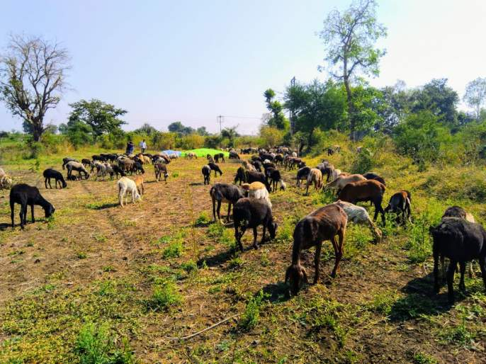 750 cattle in fodder camp in Karmad | करमाड येथील चारा छावणीत ७५० जनावरे दाखल