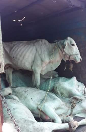 The slaughtered animals are saved | कत्तलखान्याच्या मार्गावर असलेली गुरे वाचविली