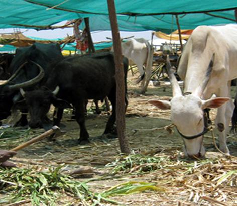 In the Nagar district, the animals have eaten Rs. 317 crore fodder, suspected of misconduct   नगर जिल्ह्यात जनावरांनी खाल्ला ३१७ कोटीचा चारा, गैरव्यवहार झाल्याचा संशय