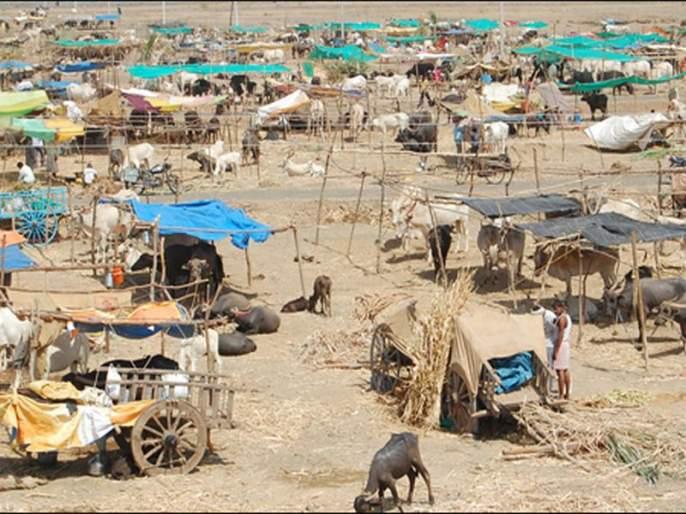 In Osmanabad, 46 thousand animals are lives in 70 shelter | उस्मानाबादेत ७० छावण्यांमध्ये ४६ हजारावर पशुधन दाखल !