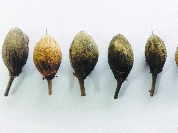 The risk of diseases in chilly gardens in the monsoon | पावसाळ्यात चिकू बागांना रोगांचा धोका