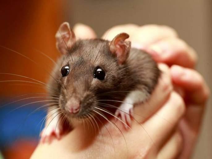 New mars vaccine may be effective on corona virus which success preventing infection on rat sna | Coronavirus : संक्रमण रोखण्यासाठी रामबाण ठरू शकते 'ही' लस, उंदरावरील प्रयोग यशस्वी