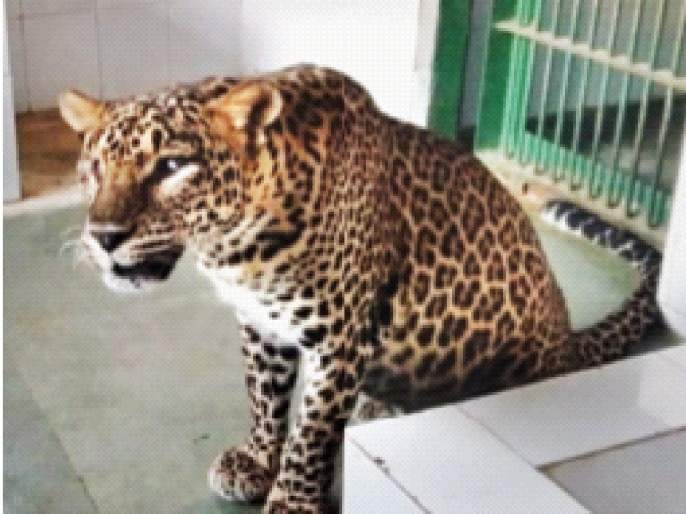 Celebrate the birthday by adopting a blind female leopard | अंध मादी बिबट्या दत्तक घेत वाढदिवस साजरा