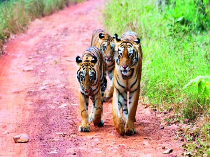 Approach: Will Tadoba Tiger Project be conserved or immersed? | दृष्टिकोन: ताडोबा व्याघ्र प्रकल्पाचे संवर्धन करणार की विसर्जन?