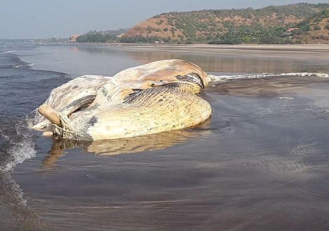Now! Dead whale fish found on the Murud beach in Ratnagiri   अबब!मुरुड समुद्रकिनारी मृतावस्थेत आढळला तब्बल ७० फूटांचाव्हेल मासा