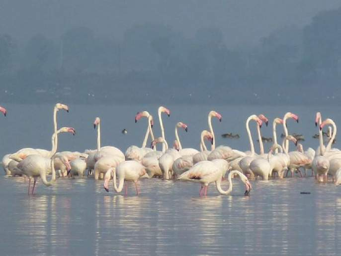 Flamingo Sanctuary awaits developers; Five thousand projects in trouble | फ्लेमिंगो अभयारण्याने अडवली विकासकांची वाट;पाच हजार प्रकल्प अडचणीत
