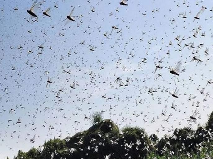 Locusts Attack Up After Rajsthan And Madhya Pradesh pnm | कोरोनापाठोपाठ पाकिस्तानातून भारतात आलं मोठं संकट; संपूर्ण उत्तर प्रदेशात अलर्ट जारी