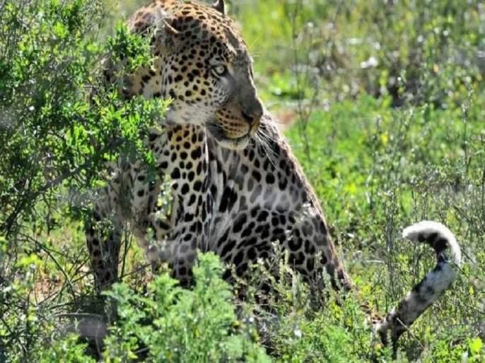 8 goats killed in leopard attack; Unfortunate incident in Shrigonda taluka | बिबट्याच्या हल्ल्यात ८ शेळ्या ठार; श्रीगोंदा तालुक्यातील दुर्दैवी घटना