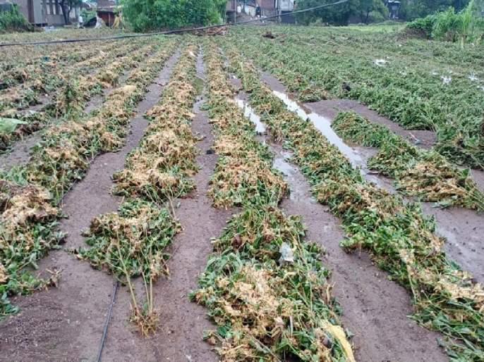 Rain Update: Heavy rains hit the state; Soybeans fell asleep, trumpets were thrown, rice was also destroyed | Rain Update: राज्याला अतिवृष्टीचा जोरदार तडाखा;सोयाबीन झोपले, तूरीने टाकली मान, भातही मातीमोल