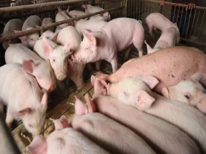 African Swine Fever Hits Assam Piggery Sector, Government Orders Culling Of 12000 Pigs   आसामच्या मुख्यमंत्र्यांचे राज्यातील १२ हजार डुक्करांना ठार मारण्याचे आदेश; जाणून घ्या कारण...