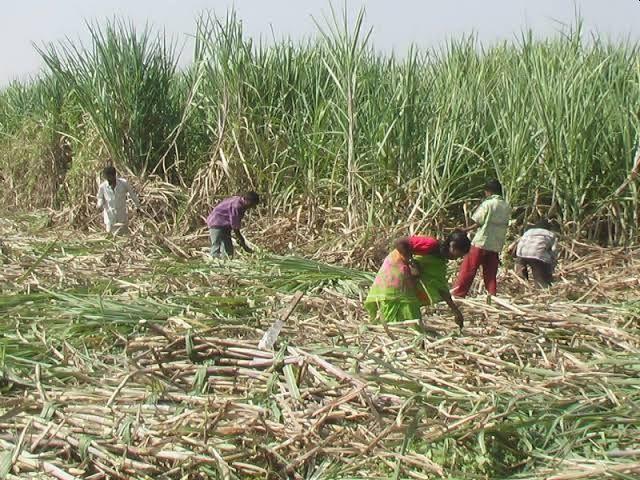 The second meeting of the sugarcane workers was also unsuccessful not even the decision of the sugar union | ऊसतोडणी कामगारांची दुसरी बैठकही निष्फळ, साखर संघाचाही निर्णय नाही