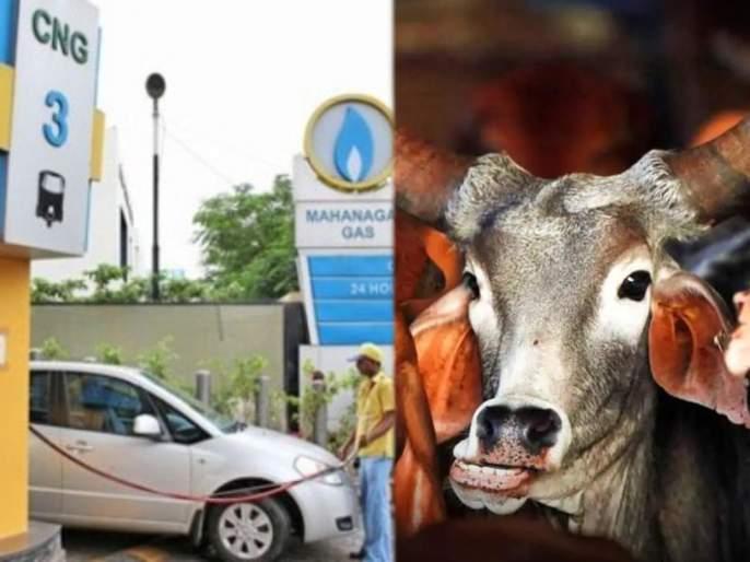 national kamadhenu commission proposes to use cow dung cng on fuel price hike | आत्मनिर्भर भारत! आता पेट्रोल-डिझेल विसरा; शेणापासून तयार करणार स्वस्त इंधन
