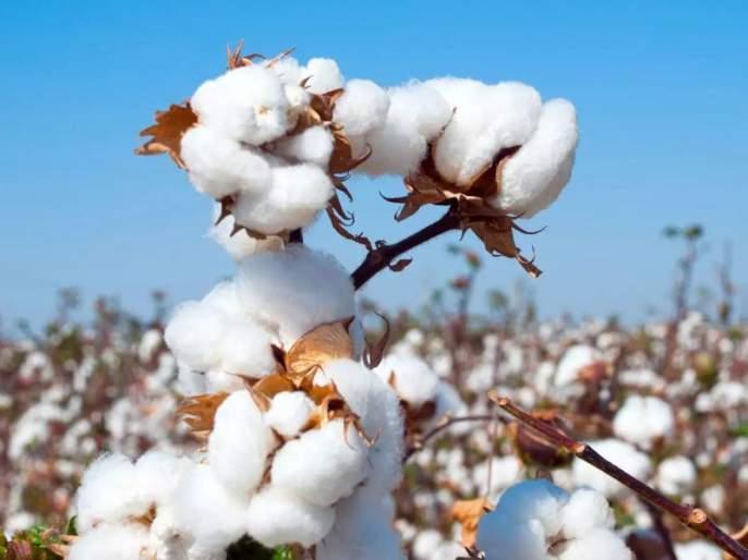 Marketing Federation will buy 85,000 quintals of cotton per day | पणन महासंघ खरेदी करणार दररोज ८५ हजार क्विंटल कापूस
