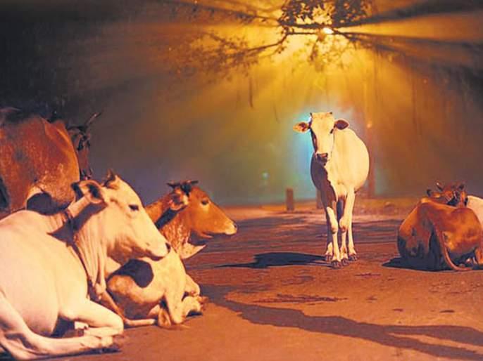 Poisoning of 50 animals at Palashi   पळशी येथे ५० जनावरांना विषबाधा
