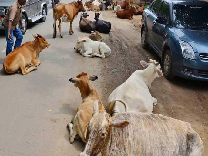 For cm Yogi Adityanath Visit UP administration Orders Engineers To Catch Cows Retracts   मुख्यमंत्र्यांच्या मार्गात येणारे गाय-बैल पकडा; नऊ अभियत्यांवर विचित्र जबाबदारी