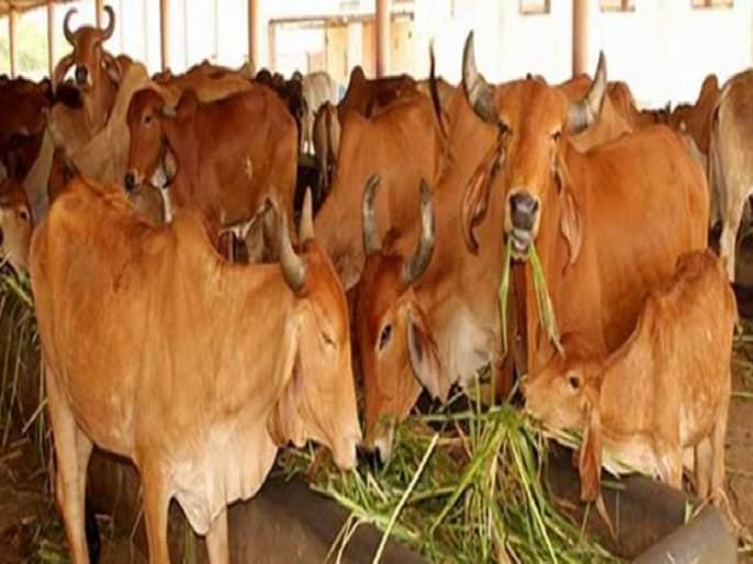 Bengal man wants gold loan against cows after Dilip Ghosh's 'gold in milk' theory | गायी घ्या, गोल्ड लोन द्या; भाजपा नेत्याच्या 'त्या' विधानानंतर तरुणाची मागणी