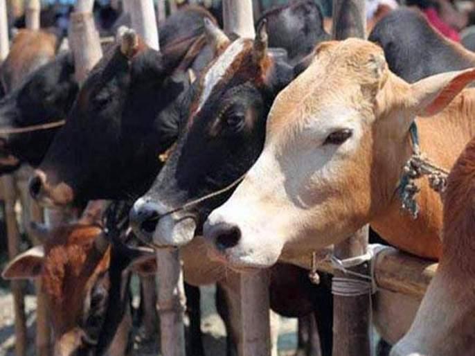 Shocking! Sudden death of 80 cows in a cowshed in Rajasthan, only one commotion in the area | धक्कादायक! राजस्थानमध्ये गोशाळेतील ८० गायींचा अचानक मृत्यू, परिसरात एकच खळबळ