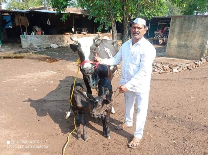 One incident in a million! A huge crowd of farmers to see the twin calves born from the cow's belly | लाखात एक घटना! गाईच्या पोटी जन्मलेल्या जुळ्या वासरांना पाहण्यासाठी शेतकऱ्यांची तुंबळ गर्दी