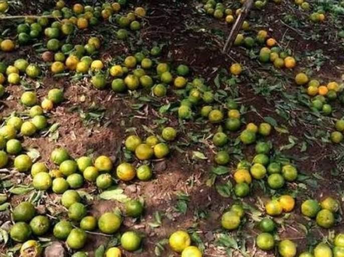 Differences in orange crop insurance | संत्र्याच्या पीक विम्यात तफावत