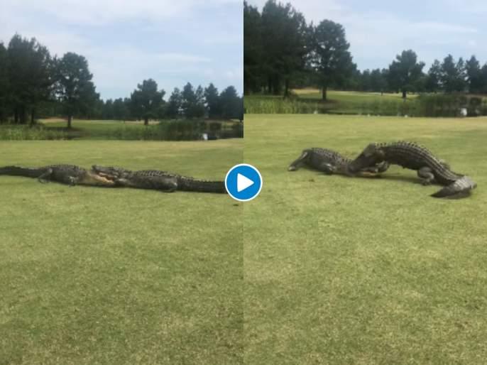 Alligators engage in fight on golf course, fascinating video captured svg | OMG : गोल्फ ग्राऊंडवर मगरींचं युद्ध; Videoतील आवाज ऐकूनच सुटेल घाम