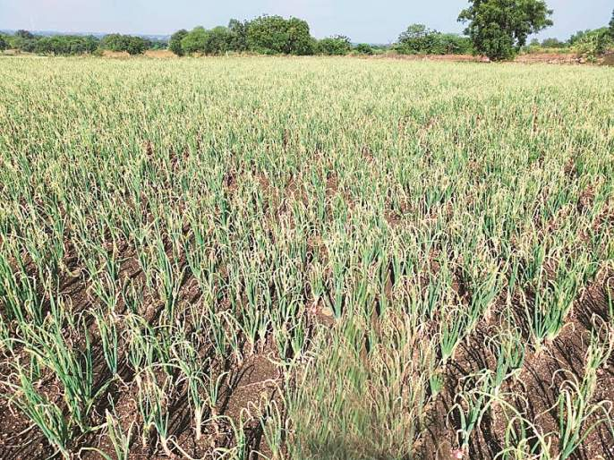 Onion producing farmers' suffers due to heavy rain   कांदा उत्पादक शेतकऱ्यांच्या डोळ्यांत तरळले पाणी