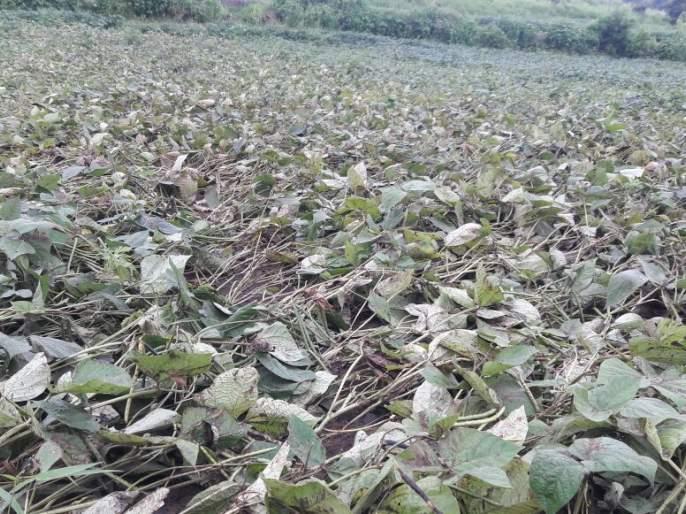 the cotton swabs ends in first pickup; Concern among cotton growing farmers | पहिल्याच वेचणीत होतेय कपाशीची पऱ्हाटी; कापूस उत्पादक शेतकऱ्यांमध्ये चिंता