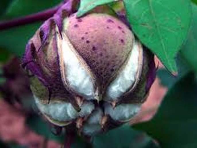 Farmers not keen to take cotton insurance! | कपाशीचा विमा काढण्यास शेतकऱ्यांचा कानाडोळा!