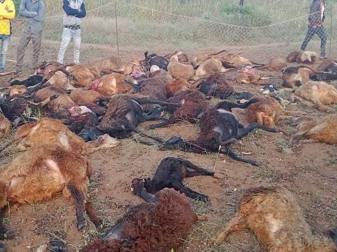 Bibeta attack kills 3 sheep in Sachri taluka | साक्री तालुक्यातील इच्छापुरयेथे बिबट्याच्या हल्ल्यात ७१ मेंढ्या मृत्यूमुखी