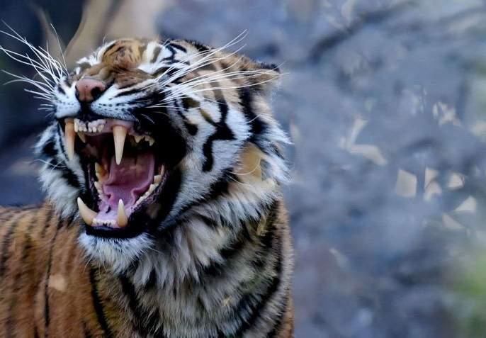 Tendupatta woman laborer killed in tiger attack in Chandrapur district   चंद्रपूर जिल्ह्यात वाघाच्या हल्ल्यात तेंदूपत्ता महिला मजूर ठार