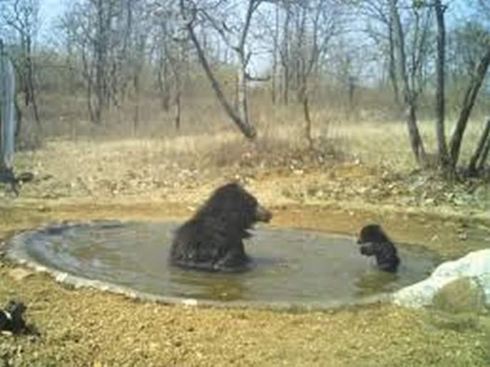 For the first time in Dnyanganga sanctuary, animals will be counted by trap cameras | ज्ञानगंगातअभयारण्यात प्रथमच ट्रॅप कॅमेऱ्याद्वारे होणार प्राण्यांची गणना