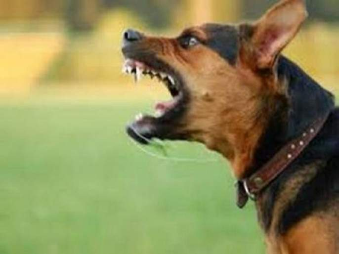 dogs bites an average of 5 people every day in Goa | गोव्यात रोज सरासरी ६८ जणांना श्वानदंश, भटक्या कुत्र्यांचा उपद्रव वाढला