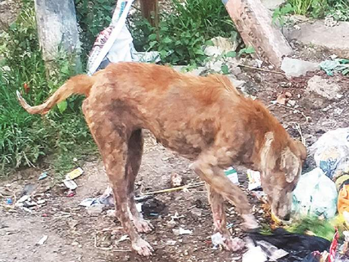 Worrying! In Aurangabad city 4,000 dogs suffers from skin diseases   चिंताजनक ! औरंगाबाद शहरात ४ हजार श्वानांना त्वचारोग
